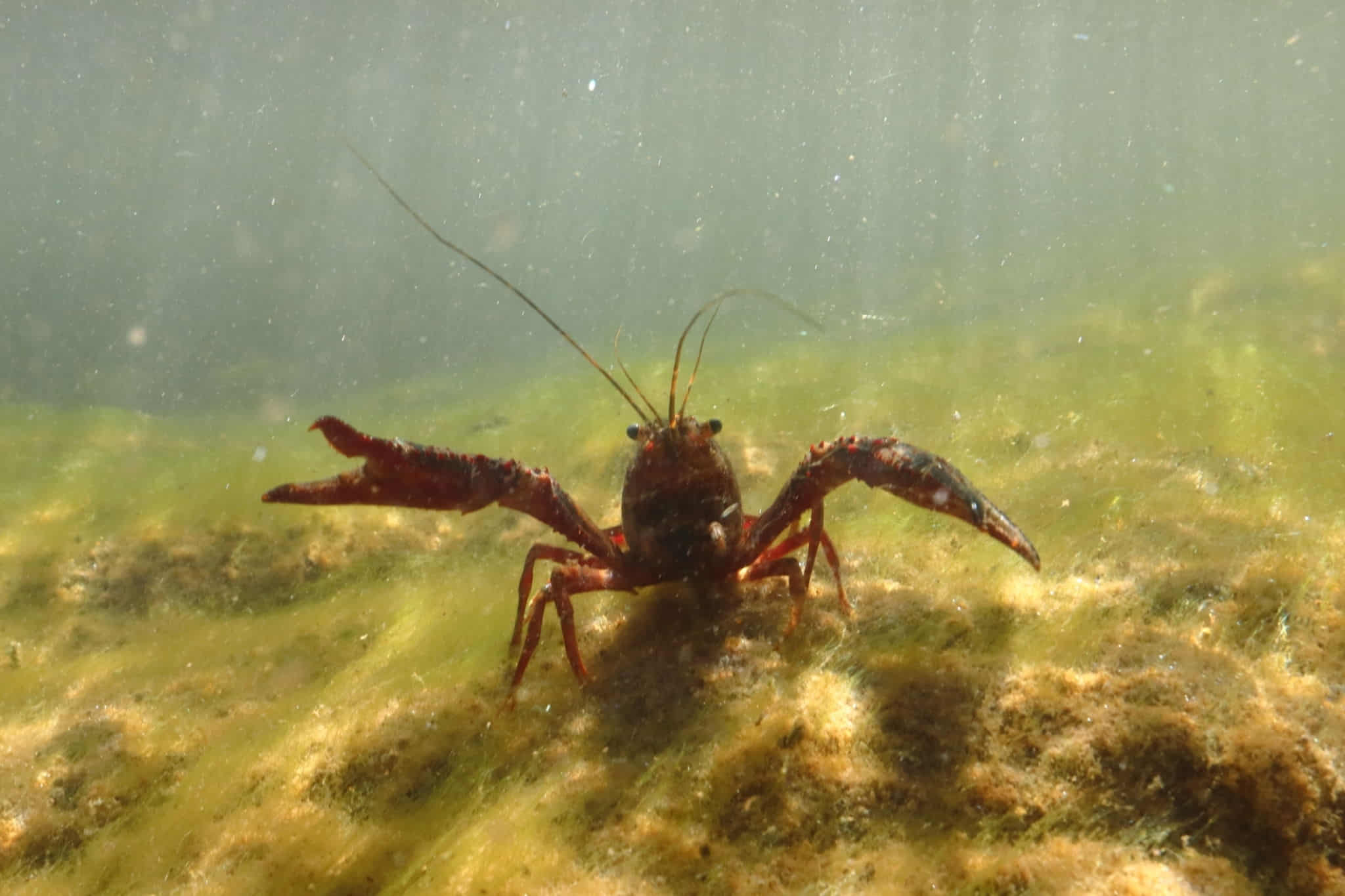 best time to catch crawfish in illinois
