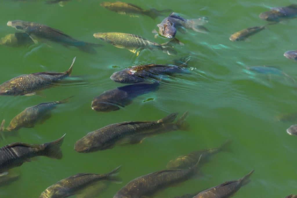 carp in illinois