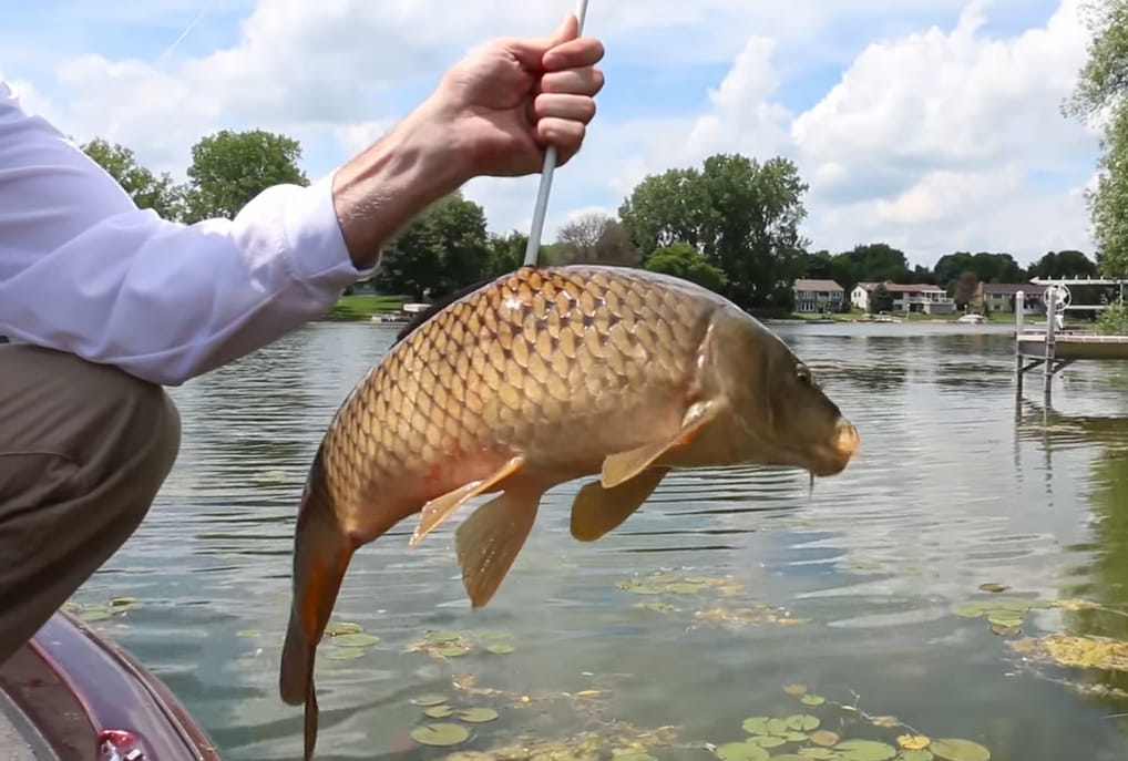 what to do with carp after bowfishing