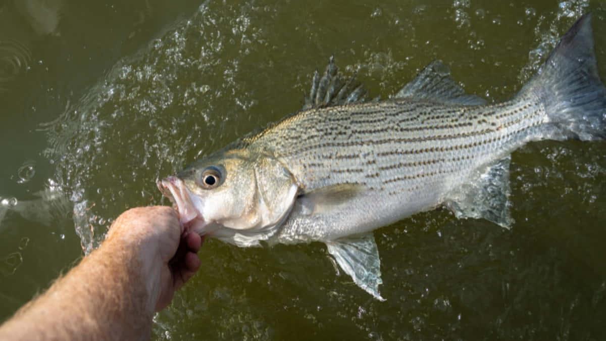white bass spawning season in illinois